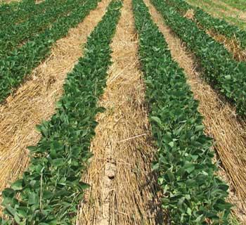 soia in culturi verzi