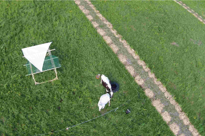 Permacultura pasunat agroforestier