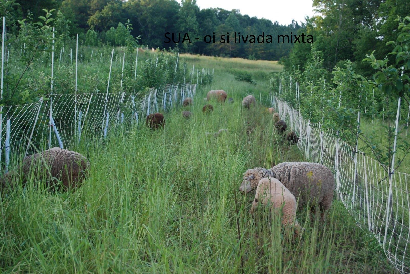 Sistem agroforestier cu oi si mar. Gardul electric apara pomii de animale